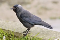 Happy Weekend !! (Kay Musk) Tags: uk wild bird nature wildlife essex nikond3200 jackdaw manningtree corvusmonedula