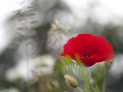 Hay time (nikjanssen) Tags: grass bokeh seeds explore poppy helios442 haytime vintgelenses