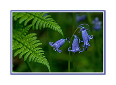Bluebell Trio (Pat's Images) Tags: bluebells handheld quarrywoods bluebelltrio