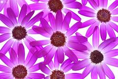 Senetti (Trayc99) Tags: flowers plant macro beautiful closeup colorful pattern bright floralart senetti beautyinnature flowerphotography floralphotography organicpattern beautyinmacro