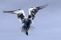 exportacion raw-50 (ivone.ramadori) Tags: aves gaviotas aveslibres ivoneramadori