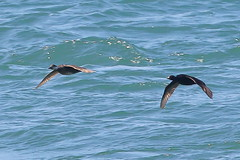 Common Scoter (Robin M Morrison) Tags: male female portland dorset portlandbill commonscoter