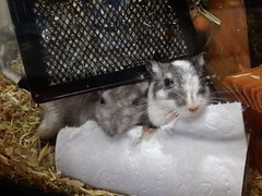 DSCN1035 (therovingeye) Tags: pets animals gerbil rodents gerbilhabitat