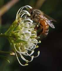 Apis mellifera on Grevillea ?, Kings Park, Perth, WA, 30/04/16 (Russell Cumming) Tags: plant insect bee perth kingspark westernaustralia grevillea apis proteaceae apismellifera