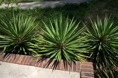 IMG_8632.CR2 (jalexartis) Tags: yard landscape backyard landscaping shrub yucca shrubbery yuccaplant