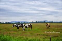 pretty horses (Rebecca Tifft) Tags: horses horse washington pasture pinto paints buckskin