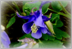 P1130864-004 Blue Granny Bonnet (hartley_hare7491) Tags: blue granny bonnet