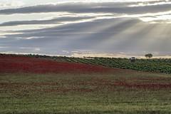Mayo en Alcardete (El Sumiller fiel) Tags: atardecer paisaje campo amapola