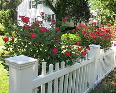 Friday Colours - Fence with Roses (Pushapoze - getting better) Tags: westfield fence white roses red cloture blanche rouge