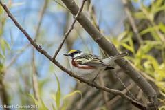Warbler Friday (rdroniuk) Tags: birds smallbirds warblers passerines chestnutsidedwarbler setophagapensylvanica oiseaux passereaux parulines parulineflancsmarron