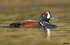 Harlequin-duck (Corey Hayes) Tags: drake male close duck waterfowl wild iceland bird
