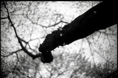 early spring (R.Hossssy) Tags: film spring cherryblossom noctilux rodinal leicam3 fomapan200