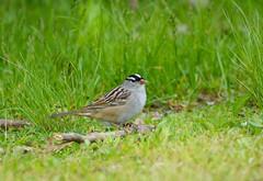 White-crowned Sparrow (av8s) Tags: ohio nature birds photography nikon wildlife sigma sparrow oh songbirds whitecrownedsparrow perchingbirds mageemarsh d7100 120400mm