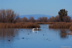 All is Calm (buffdawgus) Tags: pelicans northerncalifornia landscape marsh preserve marshland californa sacramentovalley buttecounty canon70200mm28l californiacentralvalley canon5dmarkiii lightroom5 topazsw graylodgepreserve