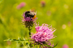 The bumblebee has become very dirty :D Die Hummel ist ganz schmutzig geworden. (musti_west) Tags: pink flower nature natur bumblebee pollen blume hummel blooming pollinate honig blhen bestuben