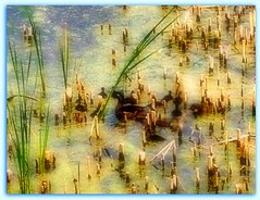 DUCK FAMILY SWIMMING THROUGH BROKEN REEDS (Visual Images1) Tags: water duck pond 6ws ducklings hss slidersunday picmonkey