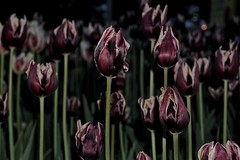 Night tulips still there... (beyondhue) Tags: ontario canada flower night dark purple ottawa flash stripe tulip tulipfest 2016 beyondhue