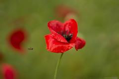 (CarolienCadoni..) Tags: red drops dof bokeh 85mm raindrops sal85f14z sonyslta99