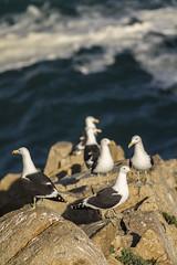 Comunidad de gaviotas (Oscar Inostroza) Tags: ocean sea azul mar community rocks gulls photographic gaviotas comunidad rocas oceano