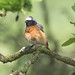 Common redstart (Phoenicurus phoenicurus) Tittesworth Reservoir Staffordshire Moorlands 07/06/16