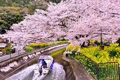(DSC_3847) (nans0410(busy)) Tags: pink flower green japan cherry outdoors boat spring scenery kyoto blossom   sakura kansai waterway    canolaflower yamashina  kinkiarea