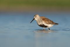Dunlin (PeterBrannon) Tags: bird beach nature florida wildlife sandpiper dunlin calidrisalpina gulfcoast shorebird breedingplumage calidrid dunl