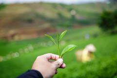 TEA LEAF B'LAO (Huynh Ba Tung) Tags: plant tree green closeup leaf symbol farmers tea outdoor hill vietnam frame tealeaf baoloc lamdong blao