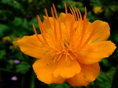 Trollius (yewchan) Tags: flowers flower nature colors beautiful beauty closeup garden flora colours gardening vibrant blossoms blooms lovely globeflower trollius globeflowers