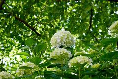 Hydrangea (Colorful-wind) Tags: light shadow sun white plant flower color colors japan colorful may fujifilm hydrangea fukuoka lightandshadow ajisai 2016  xt1