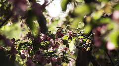 Cherish (Tris4Dead) Tags: wood pink flowers trees light sunset green field cherry dof natural bokeh depth