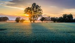 Summer sunset (daniel_moeller) Tags: trees sunset summer sky sun tree nature field landscape sonnenuntergang sommer wheat natur feld himmel landschaft sonne bume baum wheatfield weizen weizenfeld sigma60mmf28dn sonyalpha6000