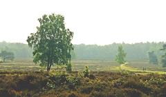 Foggy morning (M a u r i c e) Tags: trees people sunlight mist nature netherlands sunshine fog landscape path walk heather trail ef50mmf18ii loosdrecht