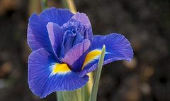 Iris (bobwight81) Tags: sony a100