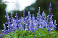 Lavender Fields (GMLLazarus) Tags: flowers plants flower nature purple lavender hartford elizabethpark