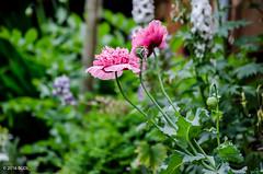 183 ~ 366 (BGDL) Tags: garden lewis poppies afsnikkor55200mm1456g nikond7000 bgdl lightroomcc goingfor4inarow~366