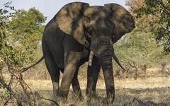 A Chance Encounter (philnewton928) Tags: africa wild elephant nature animal southafrica mammal outdoors nikon natural outdoor wildlife safari animalplanet shingwedzi krugernationalpark kruger africanelephant loxodontaafricana elephantbull d7200 nikond7200