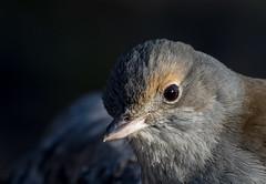 grey shrike-thrush (Colluricincla harmonica)-5312 (rawshorty) Tags: birds australia canberra act rawshorty