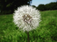 pooff (manie17) Tags: flower detail nature grass wish