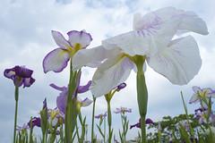 IRIS (ajpscs) Tags: summer flower macro japan japanese tokyo nikon d750  nippon   koiwa  edogawa ayame   ajpscs    hanashoubu   koiwashoubuen iris simplyiris waytosummer