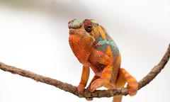 Ambilobe Panther Chameleon (.stuart hamilton) Tags: reptile lizard colourful panther chameleon ambilobe