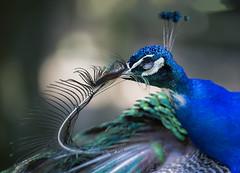 vain peacock.... (Henry der Mops) Tags: mg5065 peacock vogel bird vainpeacock mplez henrydermops canoneos6d canonlens100400mm blauerpfau pavocristatus wildparkgreifvogelzoopotzberg vanagram
