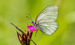 DSC1271  Black Veined White.. (jefflack Wildlife&Nature) Tags: blackveinedwhite butterfly butterflies lepidoptera insects insect wildlife heathland hedgerows farmland glades tuscany countryside nature ngc npc
