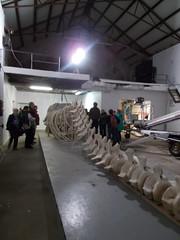 Pottwal (Leider tot) (schremser) Tags: norwegen vesteralen andenes walmuseum museum knochen knochengerst wal pottwal