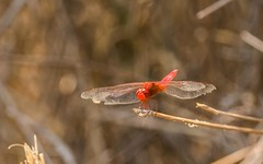 CAC_1791-20151012 (C&P_Pics) Tags: southafrica dragonfly places cac pretoria za limpopo warmbad insectsandspiders southafrica2015 polokwanereserve