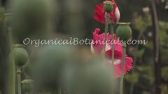 Danish Flag Papaver Somniferum Opium POPPY Pods n Flowers by- OrganicalBotanicals_Com 3 (gjaypub) Tags: flowers plants nature silhouette photography pod photos gardening bees seed seeds poppy poppies growing opium pods cultivation papaver somniferum morphine cultivating papaversomniferum 2016 potency poppyhead alkaloids organicalbotanicals