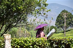 A Little Shade (The Spirit of the World) Tags: india mist umbrella work asia tea tata kerala crop local agriculture laborer teaplantation harvesting southernindia teapicker teabushes teaterraces