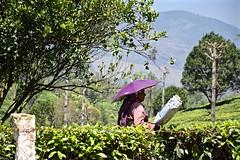 A Little Shade (The Spirit of the World) Tags: india mist umbrella work asia tea tata kerala crop local agriculture laborer teaplantation harvesting southernindia teapicker teabushes teaterraces
