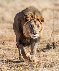Lion (Panthera leo), Namibia, Africa. (sfrancis23) Tags: africa wild nature nikon feline menacing wildlife lion safari bigcat 28 paws namibia mane bigfive 70200mm pantheraleo d810
