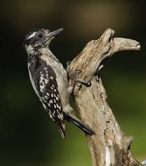Downy Woodpecker, juvenile (AllHarts) Tags: ngc memphistn backyardbirds juveniledownywoodpecker naturescarousel