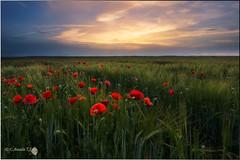 Primavera (Caramad) Tags: sunset espaa flower color landscape flor poppy puestadesol burgos castillalen amapolas cebada gumieldeizan camadats